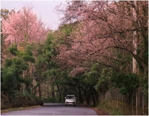 Cherry blossom trees in Shillong, Meghalaya   Photo courtesy: Government of Meghalaya